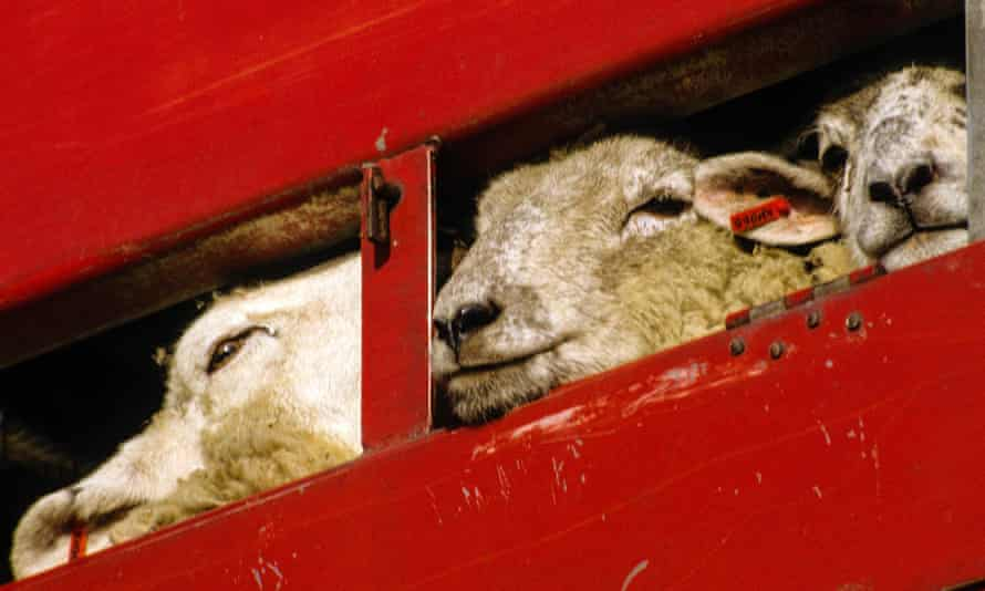 Sheep being transported in Essex.