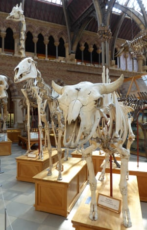 Ungulate skeletons in Oxford's Museum of Natural History.