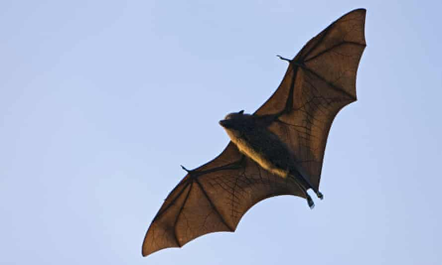 The Christmas Island flying fox, one of Australia's most at-risk mammals