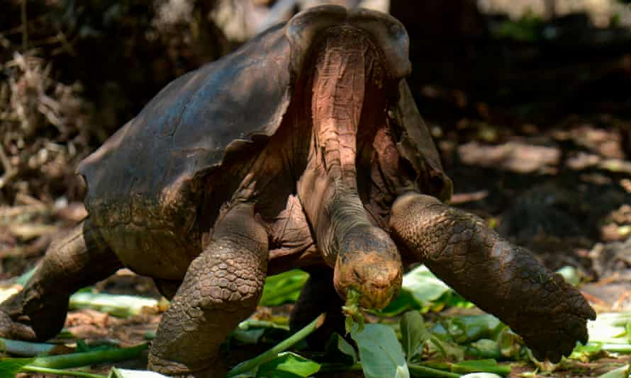 Diego, a tortoise of the endangered Chelonoidis hoodensis subspecies from Espanola Island, is seen in a breeding centre at the Galapagos National Park on Santa Cruz Island.