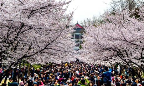 World view:cherry blossom beauty, Nanjing, China