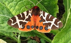 A garden tiger moth on a leaf