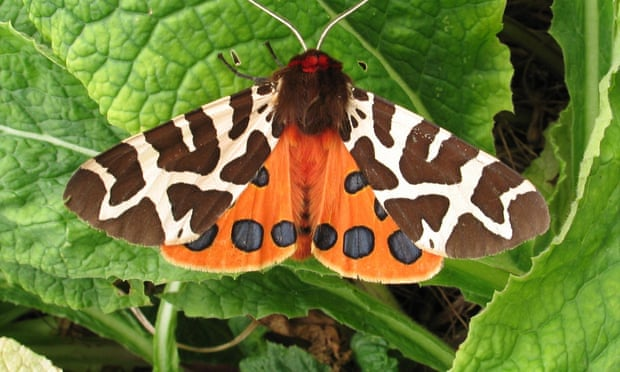 Bad taste in the moth: study reveals insect's chemical defence