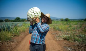 A <em>jimador</em> carries a <em>piña</em> – the pineapple-like heart of the agave plant that is the essential ingredient for tequila.