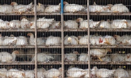 Chickens loaded on a lorry for delivery to a food processor in Virginia, USA.