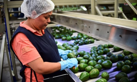 An avocado packaging plant in Uruapan, Mexico ... 'Avocados are so popular on the international level that it's generating price pressure in the national market.'