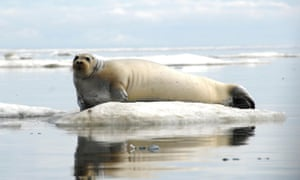 A bearded seal off the coast of Alaska