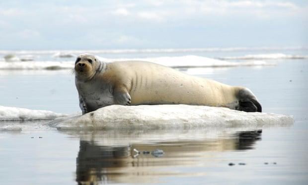 A bearded seal off the coast of Alaska. Photograph: Reuters