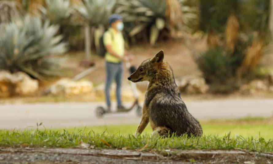 A jackal sits in Yarkon park in Tel Aviv, Israel, in April.