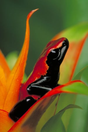 A Dendrobates galactonotus frog