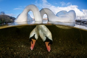 British underwater photographer of the year – winner. Love Birds Country by Grant Thomas (UK). Location: Luss Pier, Loch Lomond, Scotland  Thomas's initial idea was to frame a split shot of one swan feeding below the surface of the water but when he noticed how comfortable they were around him he was confident, with some patience, he could get that magical shot of the two.