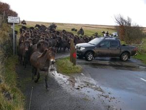 The herd come through Scobill Gate off Brendon Common.