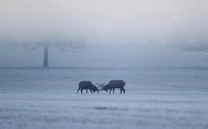 Two deer lock horns in the frost and fog in Windsor Great Park in Berkshire
