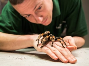 Keeper Jamie Mitchell with a Mexican red-kneed tarantula. The females can live for up to 30 years, but the males only live to around five