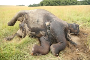 An elephant that has been poached for its tusks.