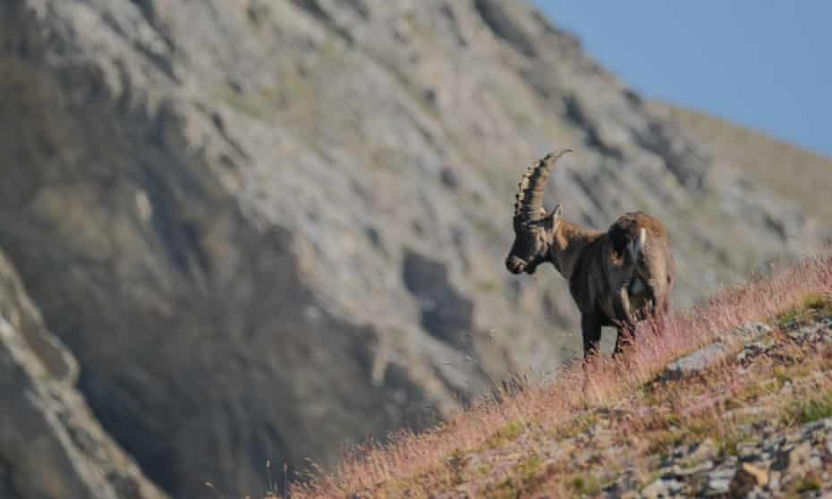 Ibex near Lac des Garrets, French Alps