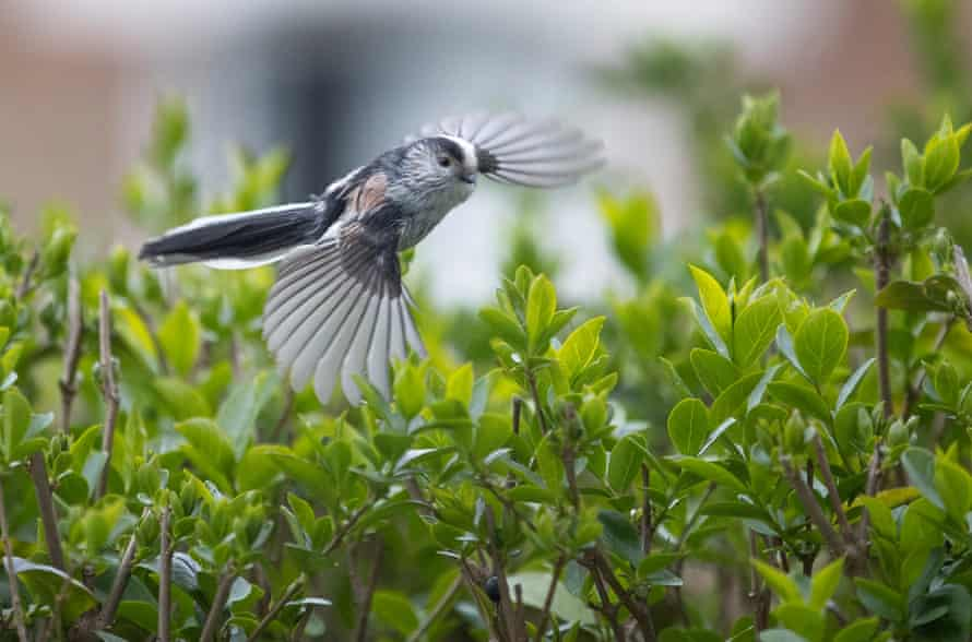 An adult long-tailed tit flies from the privet hedge at the front of my house back to its' nest
