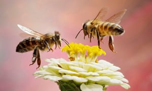 Scientists have warned that nearly half of all insect species are in rapid decline – a third of the crucial pollinators threatened with extinction.