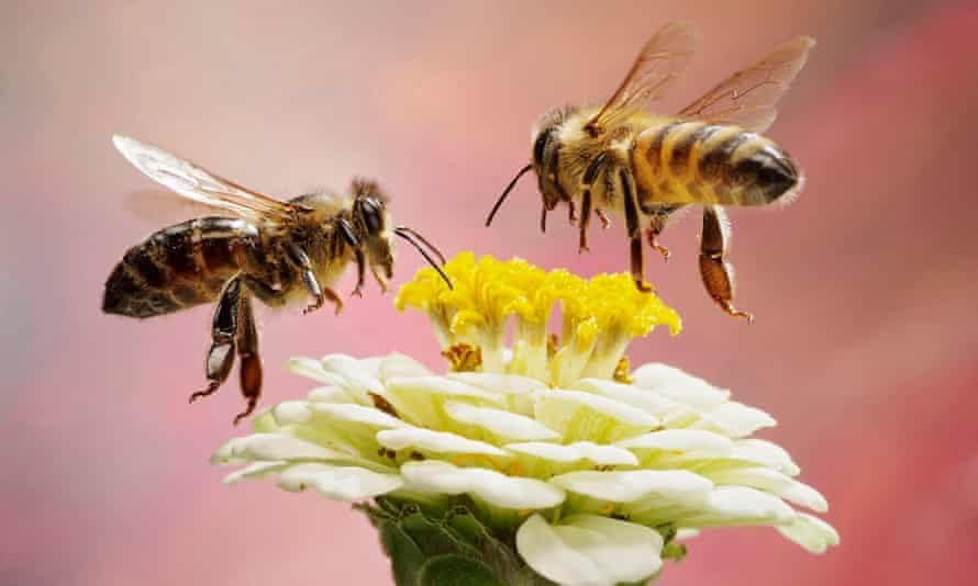 Two honeybees hovering above a flower