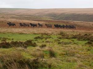 Gathering Exmoor ponies on Cheriton Ridge, Exmoor national park