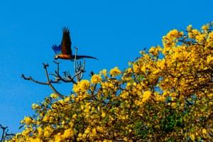 A macaw flies through the Chacao neighbourhood in Caracas