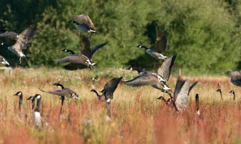 Canada geese in New Zealand