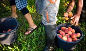 Peach farm
