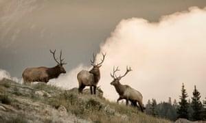 Three elk roaming on the hillside