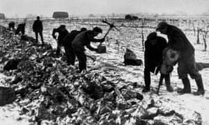 Farm workers use a road-breaking pneumatic drill to get the parsnips out of frozen ground, February 1947