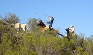 Gauchos chase after a runaway calf.