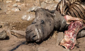 The carcass of a female white rhino killed by poachers in the Malelane area of the Kruger national park