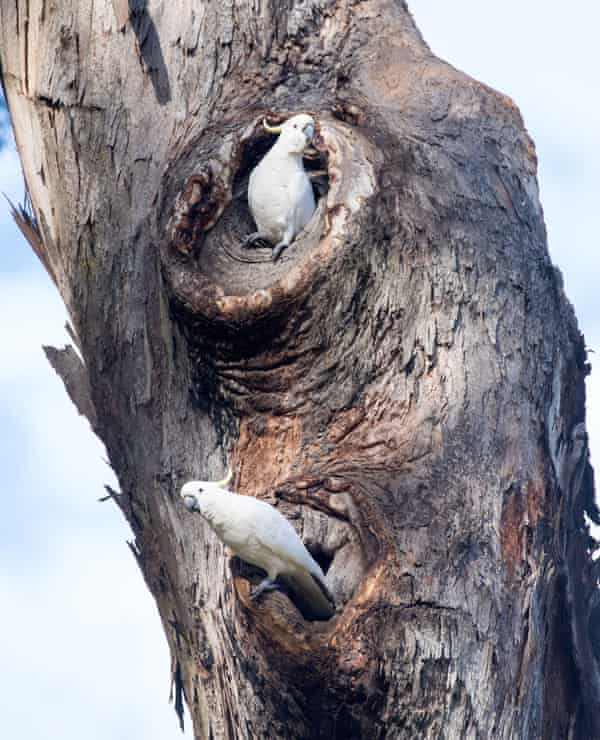 It can take 150 years or more before the hollows in the eucalypts that many native parrot species nest in are large enough to accommodate nesting sulphur-crested cockatoos.