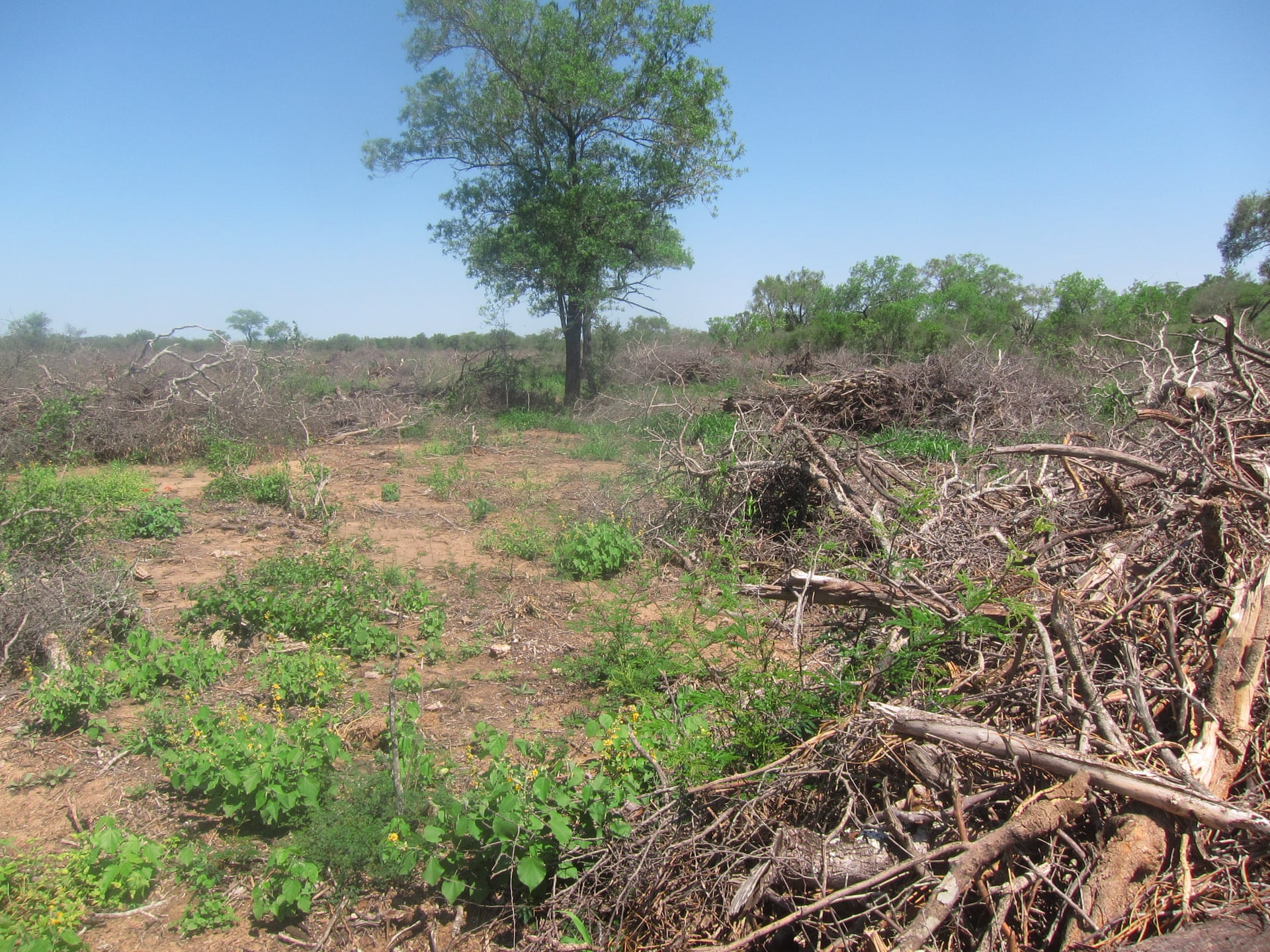 Cleared land adjacent to Bricapar's charcoal facility in Paraguay's Chaco region. Photograph: Earthsight