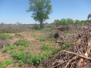 Cleared land adjacent to Bricapar's charcoal facility in Paraguay's Chaco region.