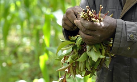 A man picks khat in Meru, Kenya