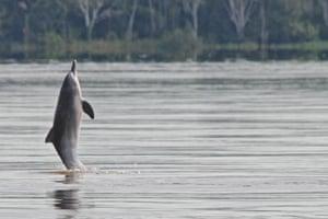 Tucuxi River Dolphin (Sotalia fluviatilis)