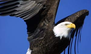 The bald eagle is often touted as a conservation success story, having been brought back from the brink, but other species now face a new threat from a change of emphasis in Washington.