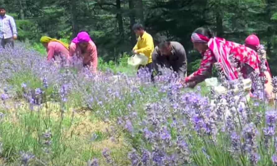 Mean and women pick lavender crops