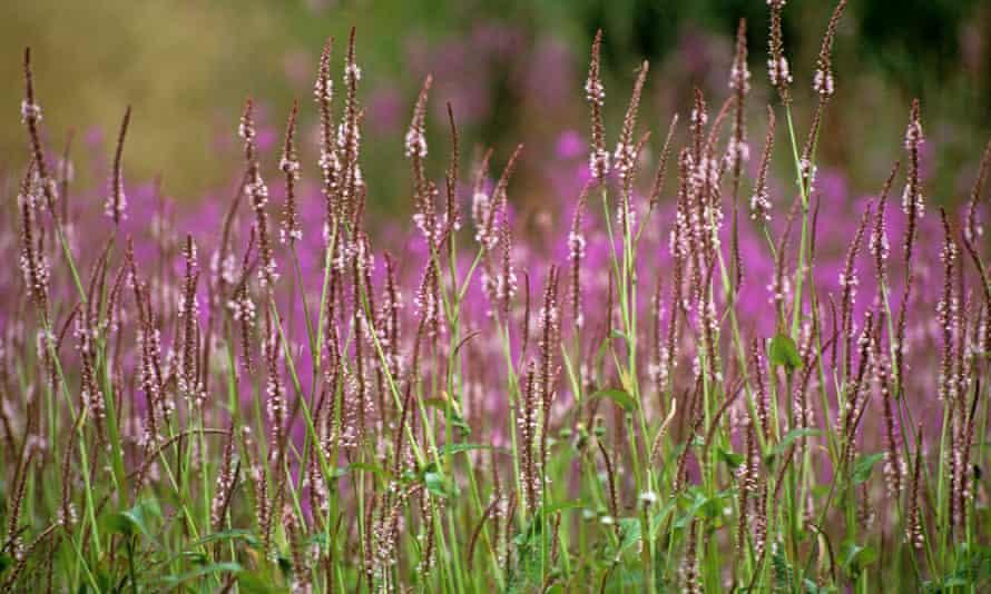 Persicaria amplexicaulis 'Rosea'.