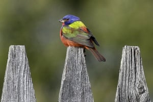 A rare painted bunting sits on a fence in Pittsfield, Vermont