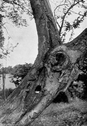 Blue tit's nest in a hollow fruit tree