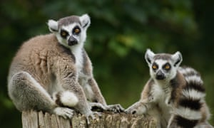 Stumpy and Tigger, the zoo's ring-tailed lemurs