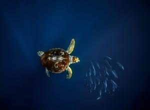 Loggerhead turtle