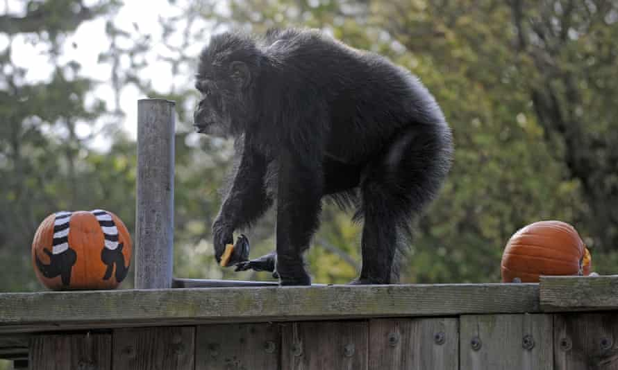 In a picture from 2009, Cobby, a male chimpanzee, plays with pumpkins at the San Francisco Zoo & Gardens.