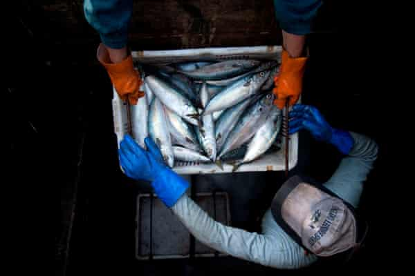 Chinese fishermen unload chub mackerels at Qingdao port
