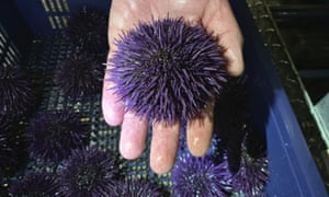 A purple urchin at Bodega Marine Lab, which is running a pilot project to remove purple urchins from the ocean floor, restore them to health, then sell them as premium seafood.
