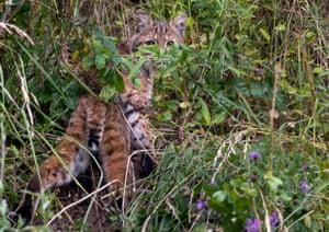 A wild bobcat walks through brush on a hillside near Elkton in rural southwestern Oregon