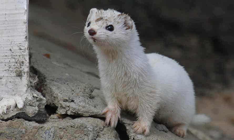 Wildlife in Chernobyl exclusion zone : Weasel