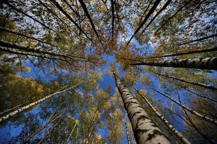 Birch trees against a blue sky