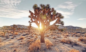 Sunrise filtering through a Joshua tree